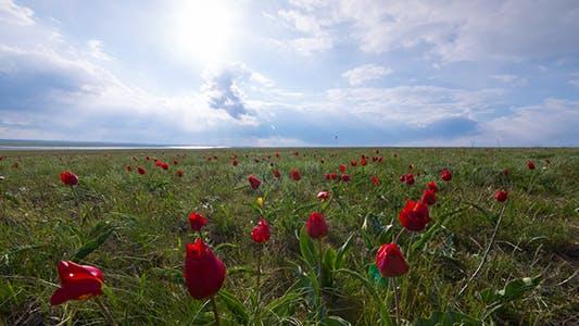 Thumbnail for Wild Tulips 3
