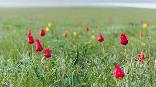 Thumbnail for Wild Tulips 4