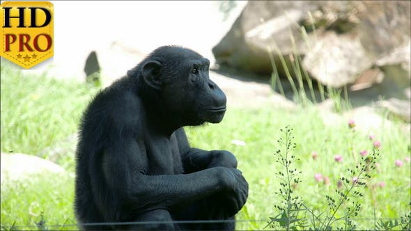 A Black Common Chimpanzee Sitting on the Grass