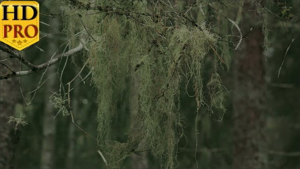 Thumbnail for A Thick Beard Lichen Hanging on the Stem