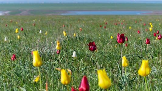 Thumbnail for Wild Tulips 11