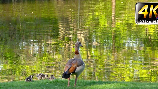 Thumbnail for Duck Near the Green Lake in Nature 4