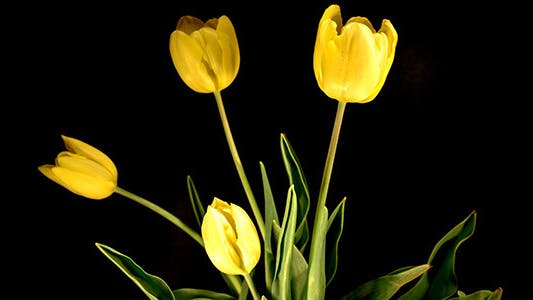 Thumbnail for Yellow Tulips On Black Background