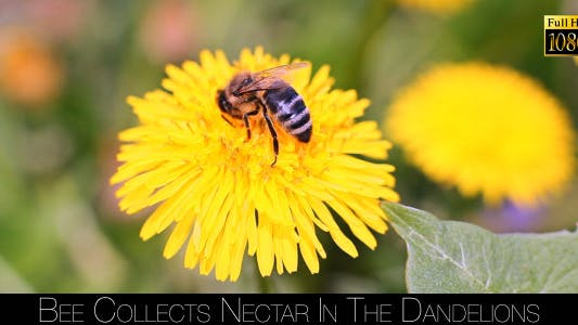 Thumbnail for Bee Collects Nectar In The Dandelions
