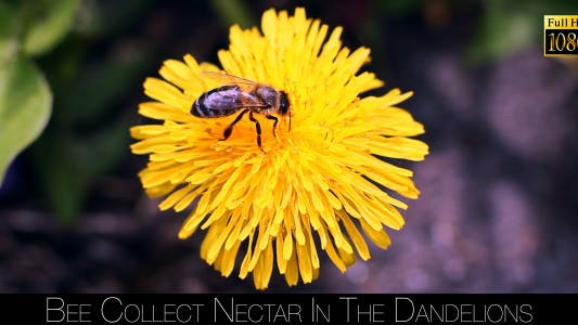 Cover Image for Bee Collects Nectar In The Dandelions 2