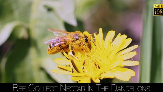 Thumbnail for Bee Collects Nectar In The Dandelions 4