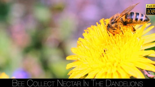 Thumbnail for Bee Collects Nectar In The Dandelions 5