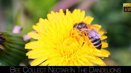 Cover Image for Bee Collects Nectar In The Dandelions 6