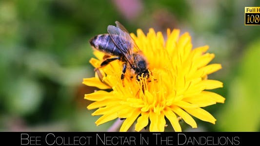Thumbnail for Bee Collects Nectar In The Dandelions 7