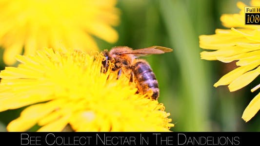 Thumbnail for Bee Collects Nectar In The Dandelions 8