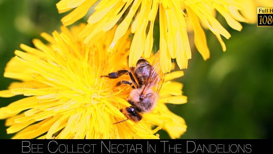 Thumbnail for Bee Collects Nectar In The Dandelions 9