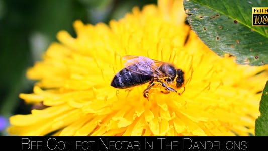 Thumbnail for Bee Collects Nectar In The Dandelions 12