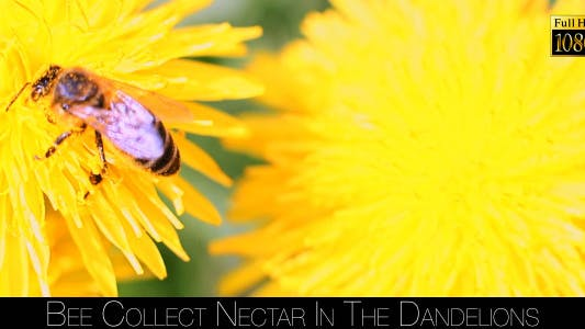 Cover Image for Bee Collects Nectar In The Dandelions 13