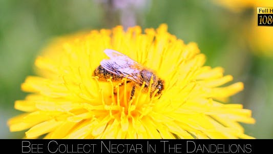 Thumbnail for Bee Collects Nectar In The Dandelions 14