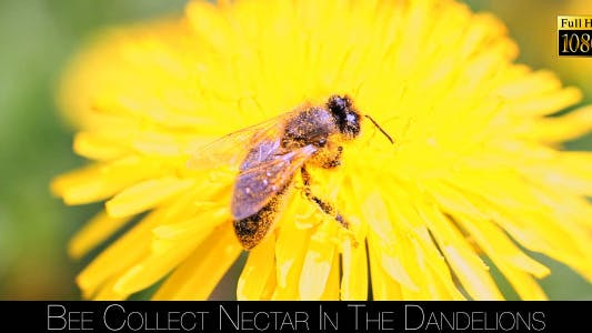 Thumbnail for Bee Collects Nectar In The Dandelions 15