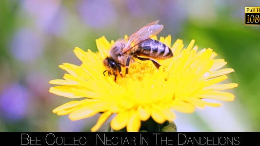 Bee Collects Nectar In The Dandelions 17