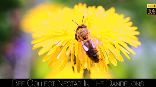 Thumbnail for Bee Collects Nectar In The Dandelions 19