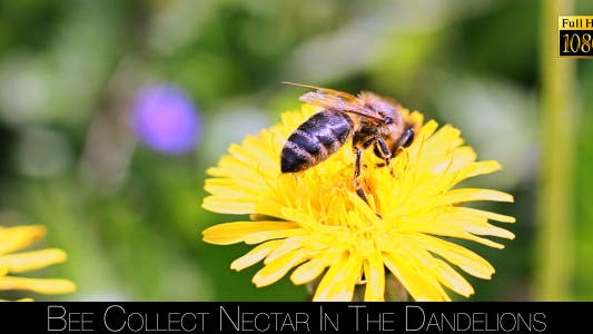 Cover Image for Bee Collects Nectar In The Dandelions 20