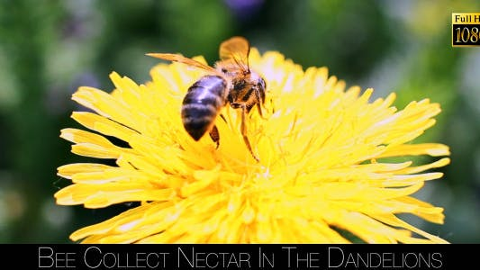 Thumbnail for Bee Collects Nectar In The Dandelions 22