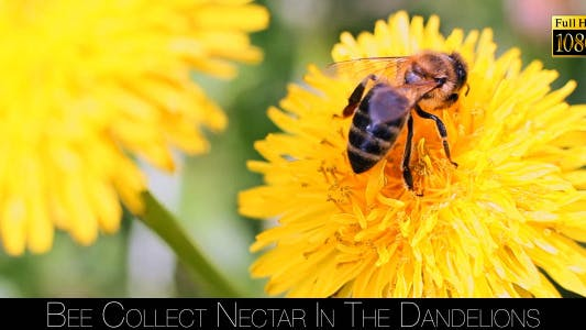 Thumbnail for Bee Collects Nectar In The Dandelions 23