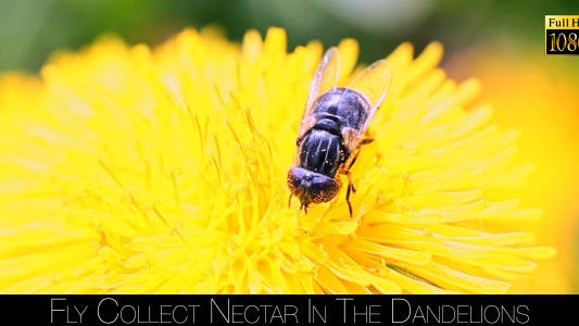 Thumbnail for Bee Collects Nectar In The Dandelions 11