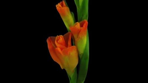 Time-lapse of opening orange gladiolus flower
