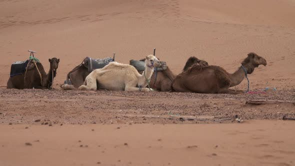 Thumbnail for Group of Camels Resting in Sahara Desert