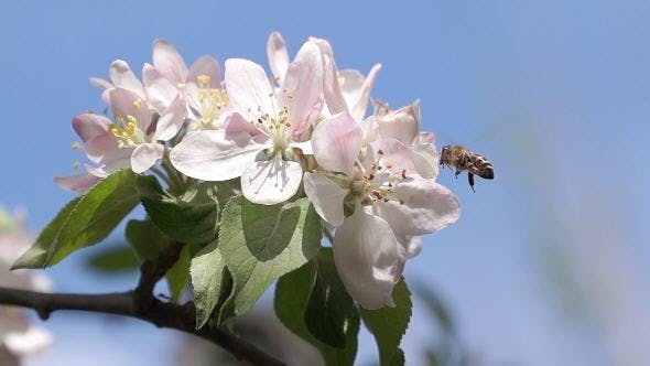 Thumbnail for Bee Pollinating Spring Flowers Apple