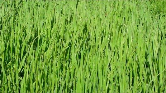 Thumbnail for Grass 20