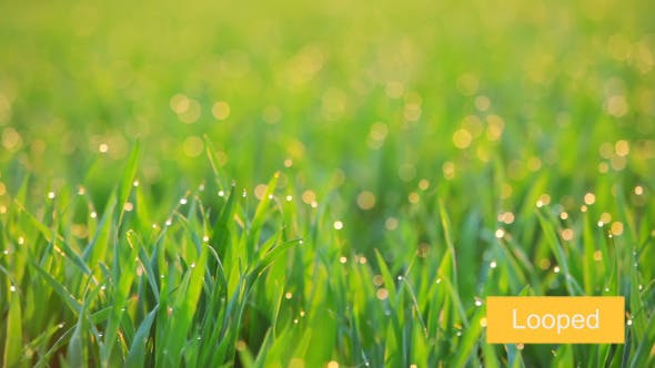 Thumbnail for Background with Dew on the Grass at Dawn