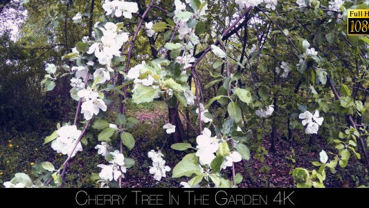 Thumbnail for Cherry Tree In The Garden