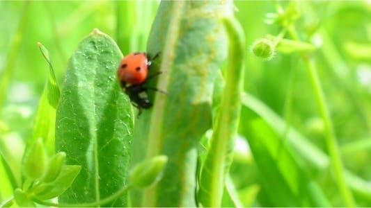 Thumbnail for Ladybug 5
