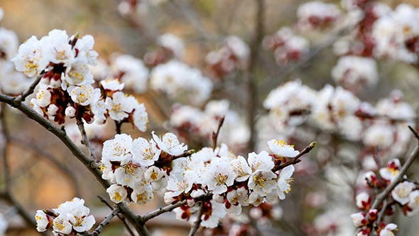 Thumbnail for Tree Branch With White Flowers