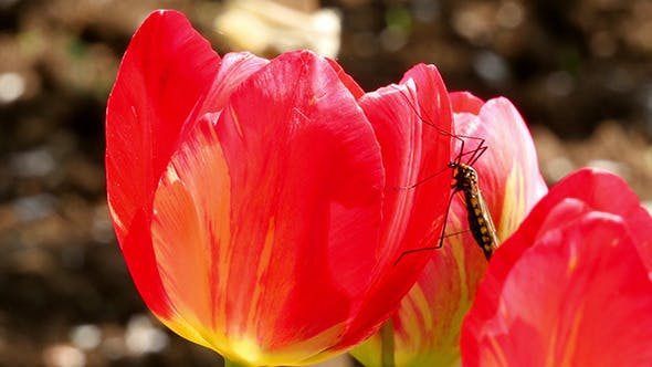 Thumbnail for Big Mosquito On A Red Tulip