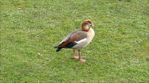 Ein eurasischer Blässe Vogel auf dem Gras