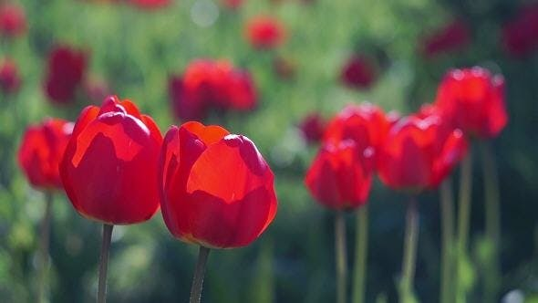 Thumbnail for Red Tulips in the Spring Garden