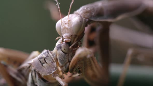 Thumbnail for Close up shot of a praying mantis eating a grasshopper head