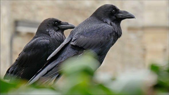 Thumbnail for Zwei schwarze Rabe auf dem Turm von London