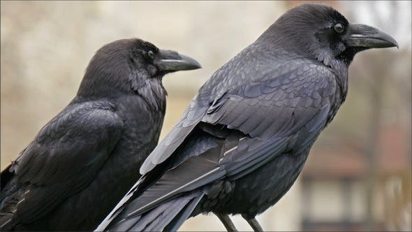 Look of the Black Raven