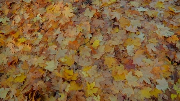 Thumbnail for Yellow Leaves On The Ground In Forest.