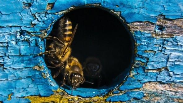 Honey Bees Guarding Hive