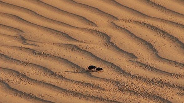 Thumbnail for Scarab Beetle On Sand Dune In Desert