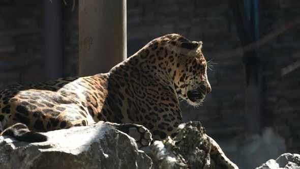 Repose léopard