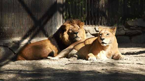 A Couple Of African Lions Resting