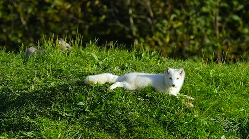 Small Arctic Fox Laying Down on Green Grass