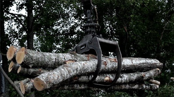 Backhoe Carrying Birch Logs to the Truck