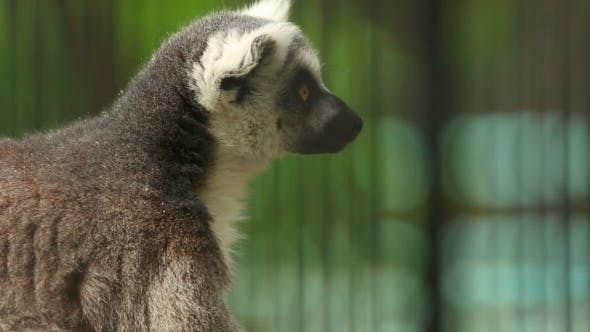 Cover Image for Ring-tailed Lemur