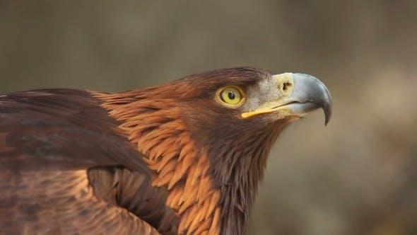 Cover Image for Golden Eagle
