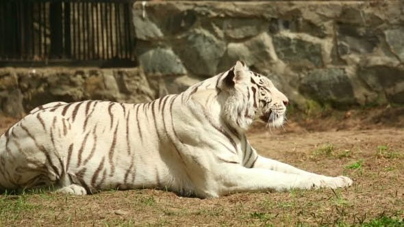 Cover Image for White Tigress