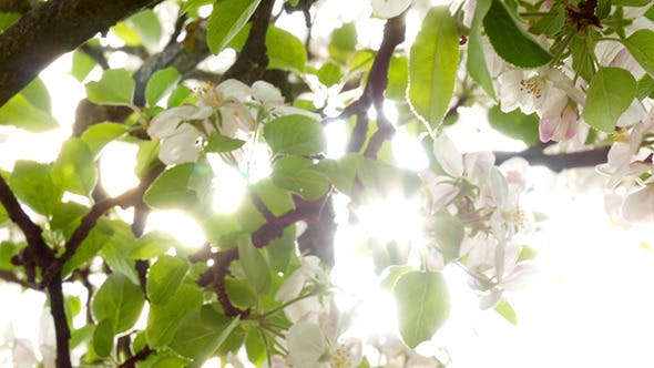 Thumbnail for Blossoming Apple Tree, The Sun Through The Flowers